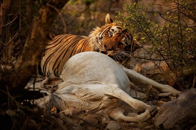 Удивительный бенгальский тигр на природе со своей добычей