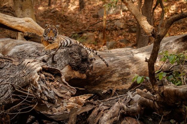 自然の中で素晴らしいベンガルトラ