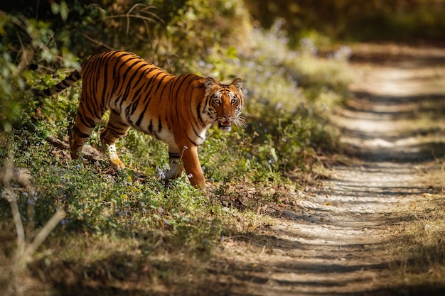 Удивительный бенгальский тигр на природе