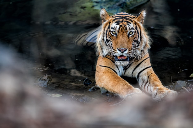 자연의 놀라운 벵골 호랑이