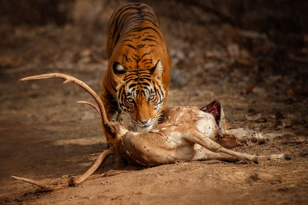 Amazing bengal tiger in the nature with its prey