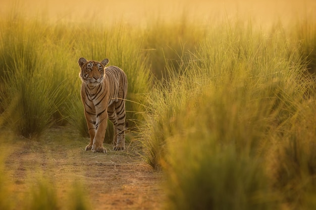 Amazing bengal tiger in the nature
