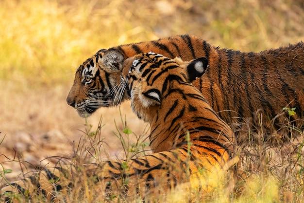 Удивительные бенгальские тигры на природе