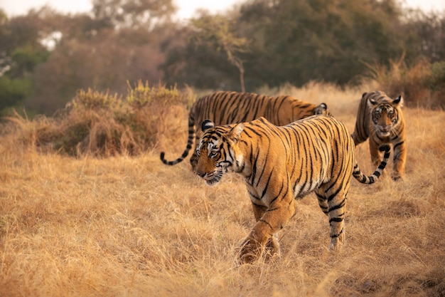 Amazing bengal tigers in the nature
