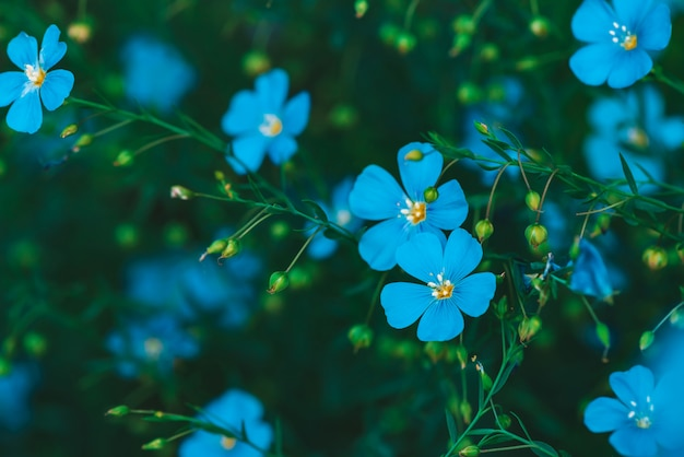Amazing bright cyan flowers of flax blooming on green background