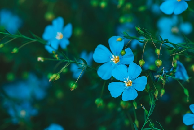 Amazing bright cyan flowers of flax blooming on green