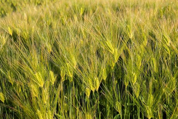 日本の農業分野で育つ驚くべき明るい緑の金色の小麦の穂