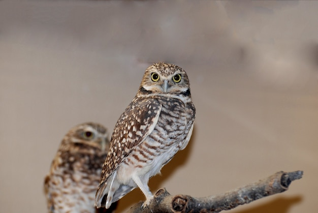 Amazing burrowing owl standing on a tree branch.