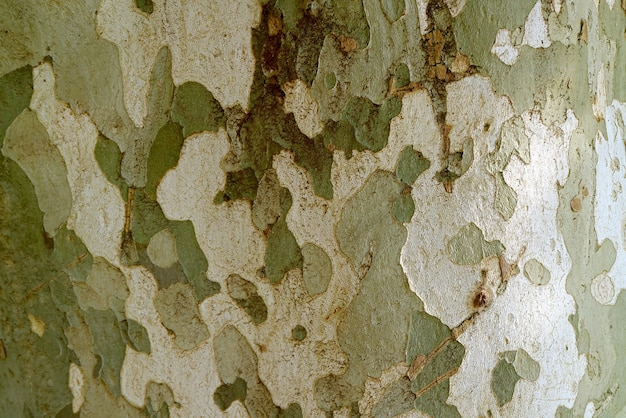 Amazing camouflage pattern of sycamore tree bark for background or banner