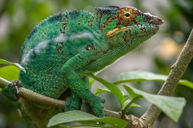 Удивительный красочный chameleon parson's. эндемик мадагаскара в красивых зеленых тонах мадагаскара. африка