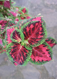 Amazing colorful foliage of coleus plants growing in the garden