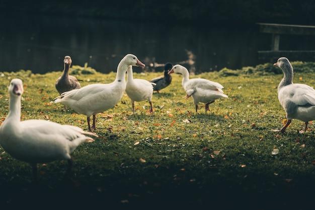Удивительные утки вокруг озера