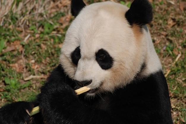 대나무 싹이 있는 자이언트 팬더 곰의 놀라운 얼굴.