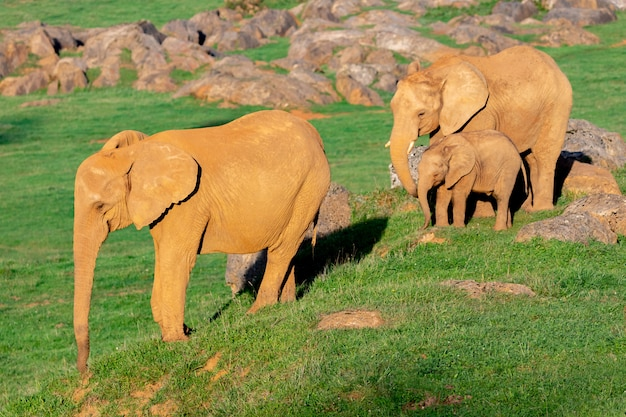 Amazing family of elephants. mom, dad and the son