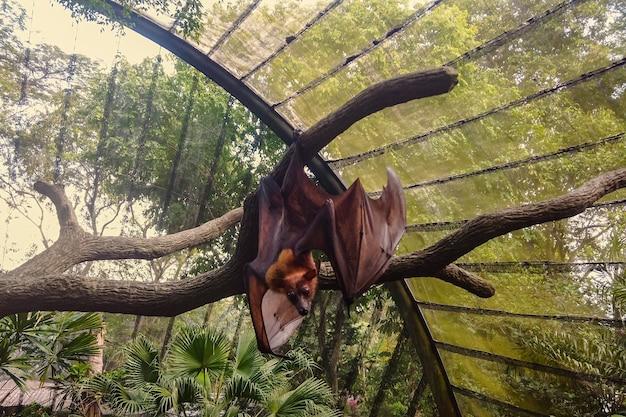 갈색 모피와 큰 날개를 가진 놀라운 푹신한 pteropus가 녹색 나무의 가지에 매달려 있습니다.