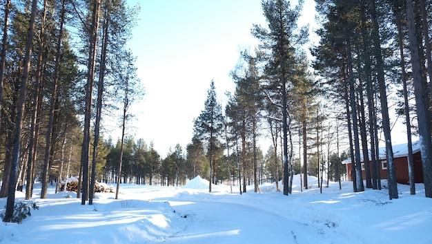 晴れた日に木々と雪のあるスウェーデンの素晴らしい森ロマンチックな場所クリスマスの雰囲気