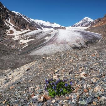 Изумительные ароматные фиолетовые цветы растут на скале среди скал у ледника крупным планом. плохая растительность высокогорья. горная флора.