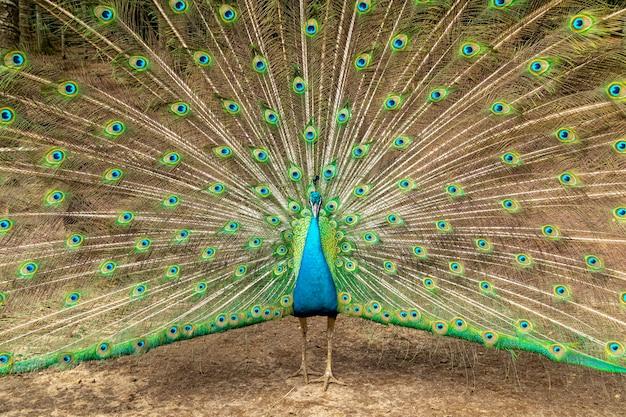 놀라운 인도 남성 공작 (pavo cristatus).