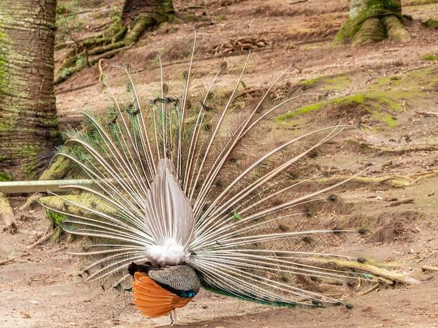 驚くべきインドクジャク(pavo cristatus)。
