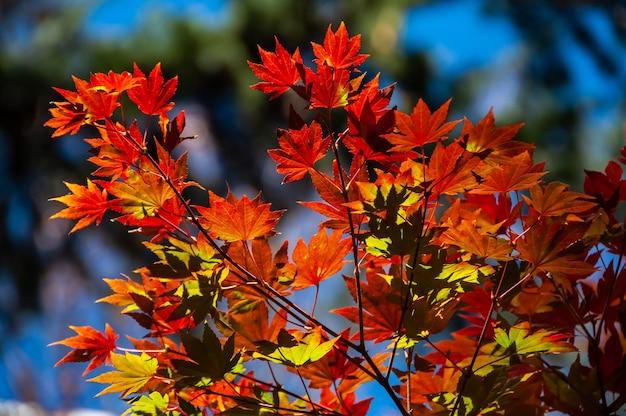 日光に照らされた素晴らしいイロハモミジの赤黄色の葉が色を強調します