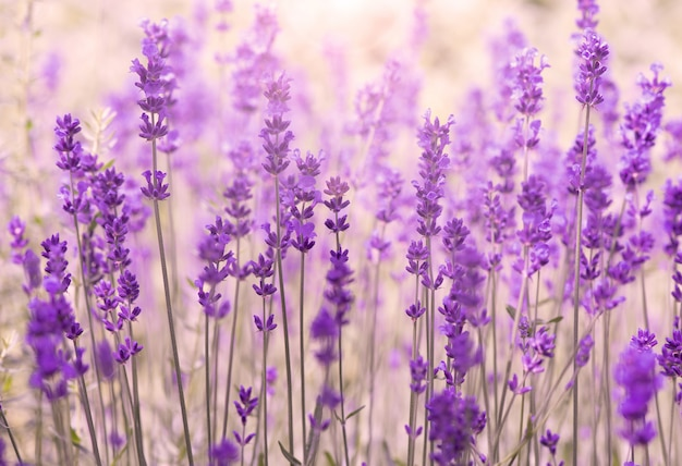 Amazing lavender flower field in provence, france, field of lavender, summer background