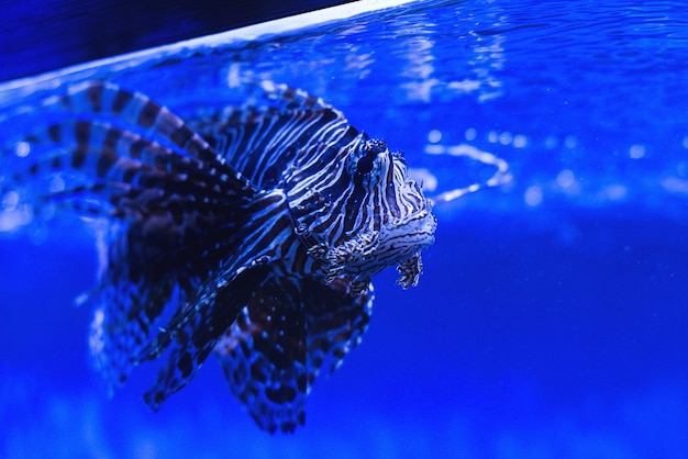 Удивительная крылатка в аквариуме зоопарка. красивая крылатка в воде. рыба-скорпион в аквариуме. обыкновенный крылатка под водой.