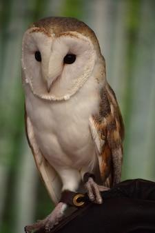 鷹狩りで腰掛けたメンフクロウの素晴らしい表情。