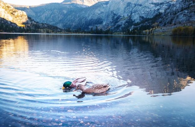 山の湖の素晴らしいマガモ