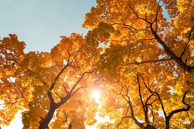 Amazing maple trees and sunlight with blue sky during warm autumn day