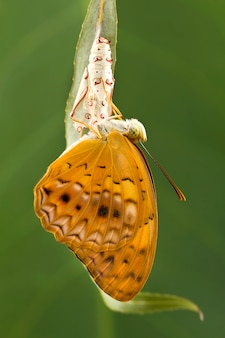 Amazing moment about butterfly change form chrysalis