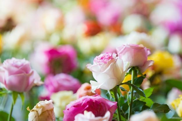 Amazing multicolor roses, flowers in garden