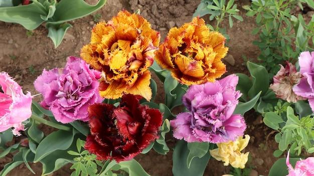 Удивительные разноцветные поля тюльпанов в италии