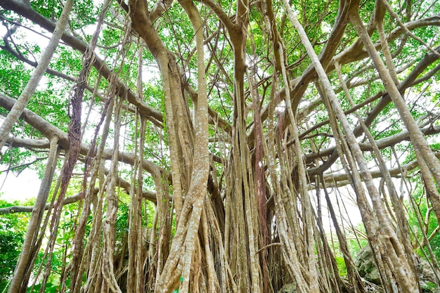 Amazing old giant tree and roots in green forest in dai sekirinzan park, okinawa, japan