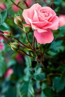 驚くほど開いた柔らかいピンクのバラと4つの閉じたつぼみ