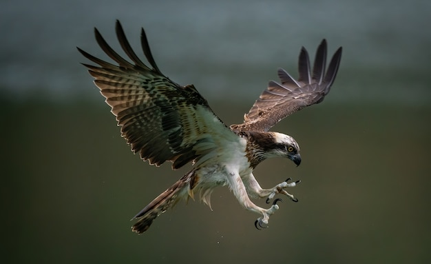 Amazing osprey or sea hawk trying to hunt