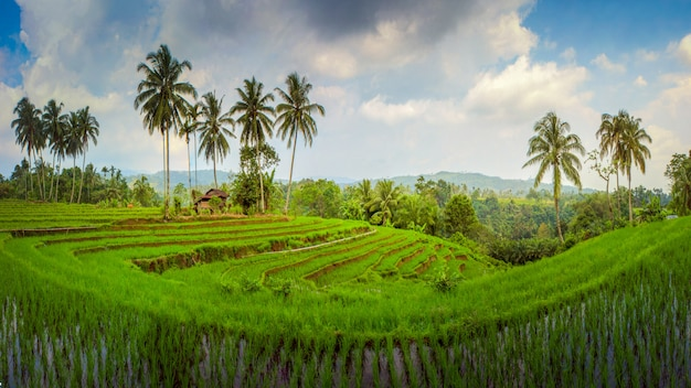 Amazing panorama paddy fields asia