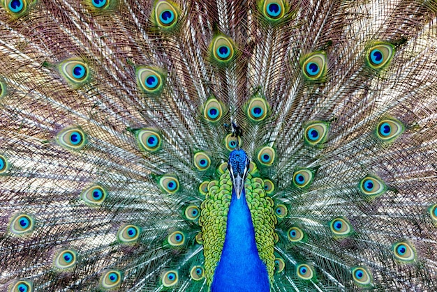 Amazing peacock with bright blue and green colors