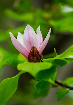Amazing pink magnolia flower, close-up view of blooming flowers on a spring day perfectly represents magnolia flower blossoming, springtime, sunny day.