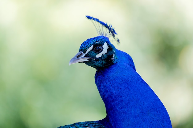 Amazing portrait of a peacock
