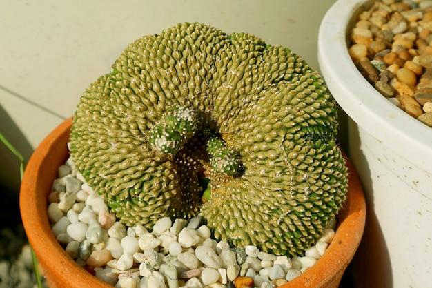 日光の下で成長する驚くべき鉢植えのnotocactusscopa cristata cactus