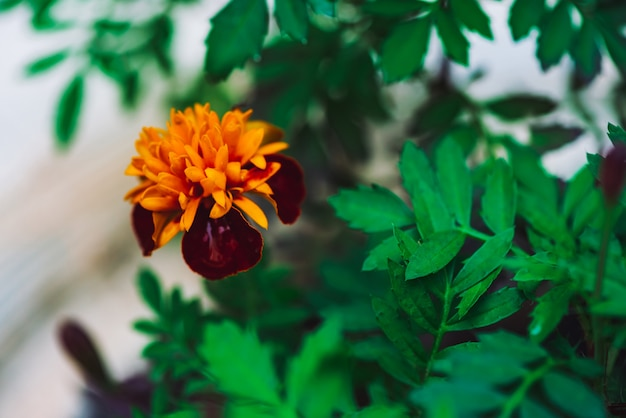 Amazing red orange tagetes in white flower bed close-up. beautiful red-orange lush flower of marigold in flowerbed. colorful natural marigold with vivid rich green leaves. copy space.