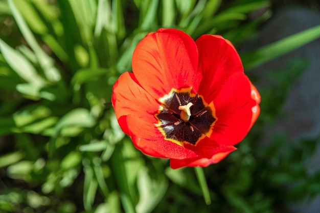 놀라운 빨강, 주황, 노랑 튤립 꽃(tulipa)이 푸른 잔디의 배경에 피어 있습니다. 봄은 밝은 튤립으로 배경을 흐리게 합니다. 위에서 보기
