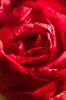 신선한 꽃의 놀라운 붉은 꽃잎