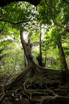 Amazing roots of ficus variegata blume in the middle of a tropical jungle. iriomote island.