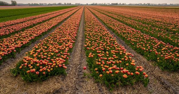 튤립으로 완전히 뒤덮인 큰 농지의 놀라운 사진