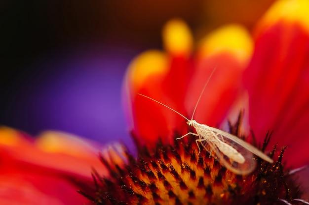 Изумительное маленькое летающее насекомое с прозрачными крыльями и длинными антеннами на оранжевой пыльце красивого цветка с красно-желтыми лепестками в макросе.