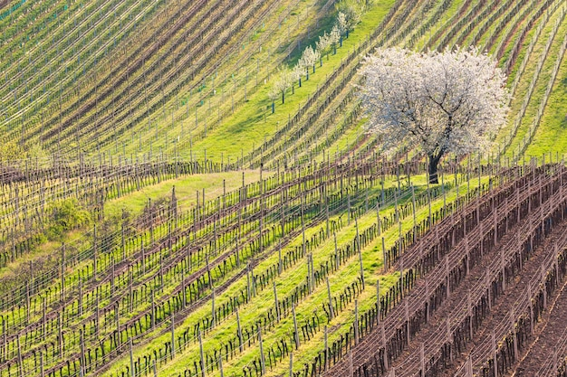 Amazing spring rural landscape with blossoming cherry tree and rows of young vineyards during sunny day.