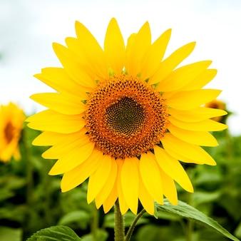 Удивительный подсолнух блестящего желтого цвета