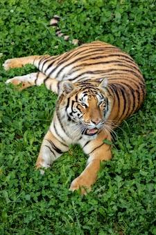 Amazing tiger