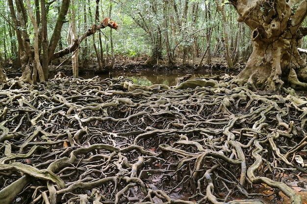 Amazing tree roots spread throughout the mangrove forest